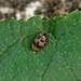 Leaf Beetle --- Ochina ptinoides