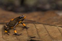 Harlequin Poison Frog - Oophaga histrionica
