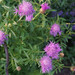 Pink Bachelor's Button Cornflower-002