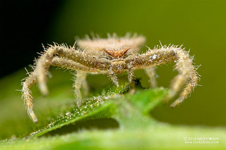 Hairy crab spider (Thomisus granulatus) - DSC_5501