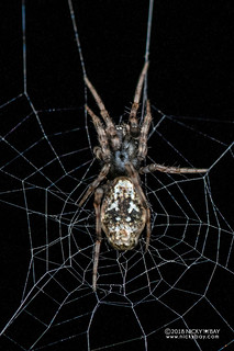 Trashline orb weaver (Cyclosa sp.) - DSC_6227
