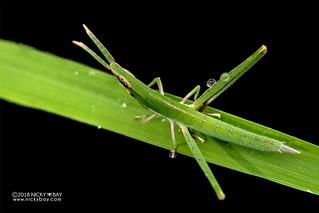Grasshopper - DSC_2627