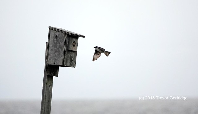 Swallows at Bouctouche Dune