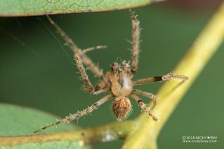 Orb weaver spider (Pararaneus cyrtoscapus) - DSC_6081