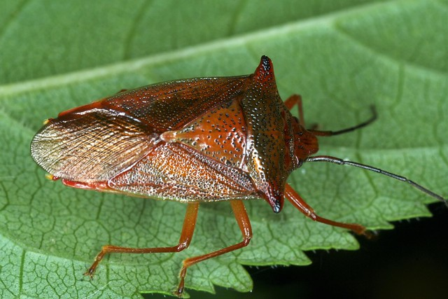 Acanthosoma haemorrhoidale et ses teintes automnales.