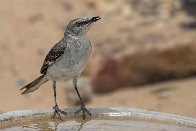 Mocking-Bird-4-7D2-060918