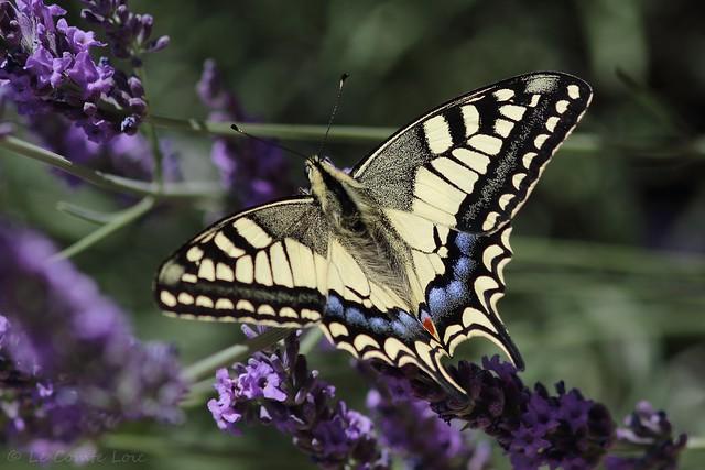 Machaon (Papilio machaon) - Vernioz - rue du Château (Isère) France, le 23 juin 2018