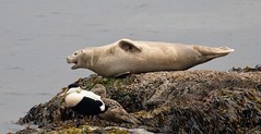 Harbour Seal with Eider Ducks