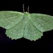 Large Emerald Moth ( picture B )