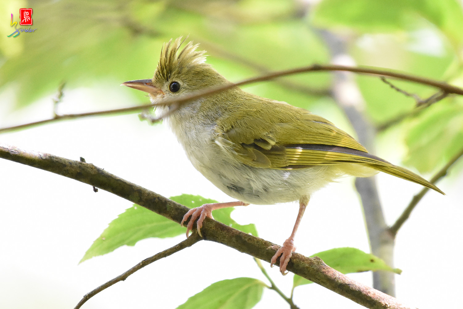 White-bellied_Yuhina_9812