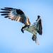 Osprey hunting by chimphotography