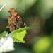 2L2A1355 Comma butterfly