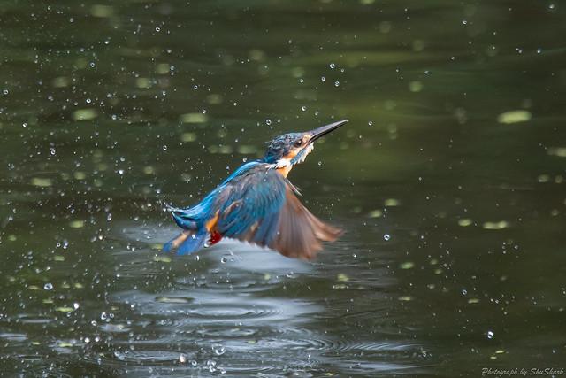 20180716-kingfisher-DSC_6919