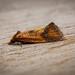 Knapweed Conch - Agapeta zoegana (brownish-orange form)