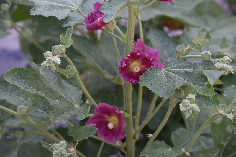Hollyhocks 20.06 (5)