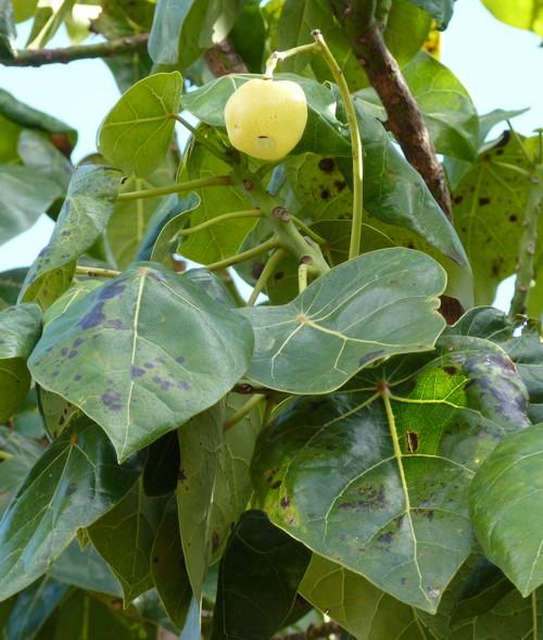 Hernandia nymphaeifolia 43211990161_01e3c53ba9_o