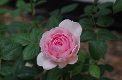 Ancient Mariner Rose