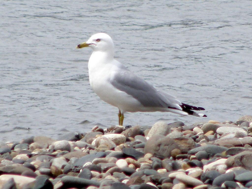 P6086364...ring-billed gull
