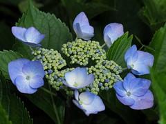 Hydrangea macrophylla (アジサイ)