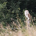 Barn Owl - Woods Mill (52)