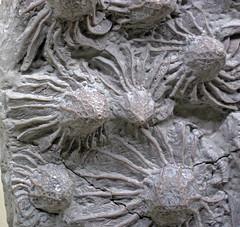 Pycnocrinus dyeri (fossil crinoids) (Arnheim Formation, Upper Ordovician; Dent, Ohio, USA) 10