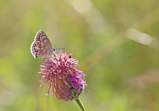 Brown Argus - Michael Bird