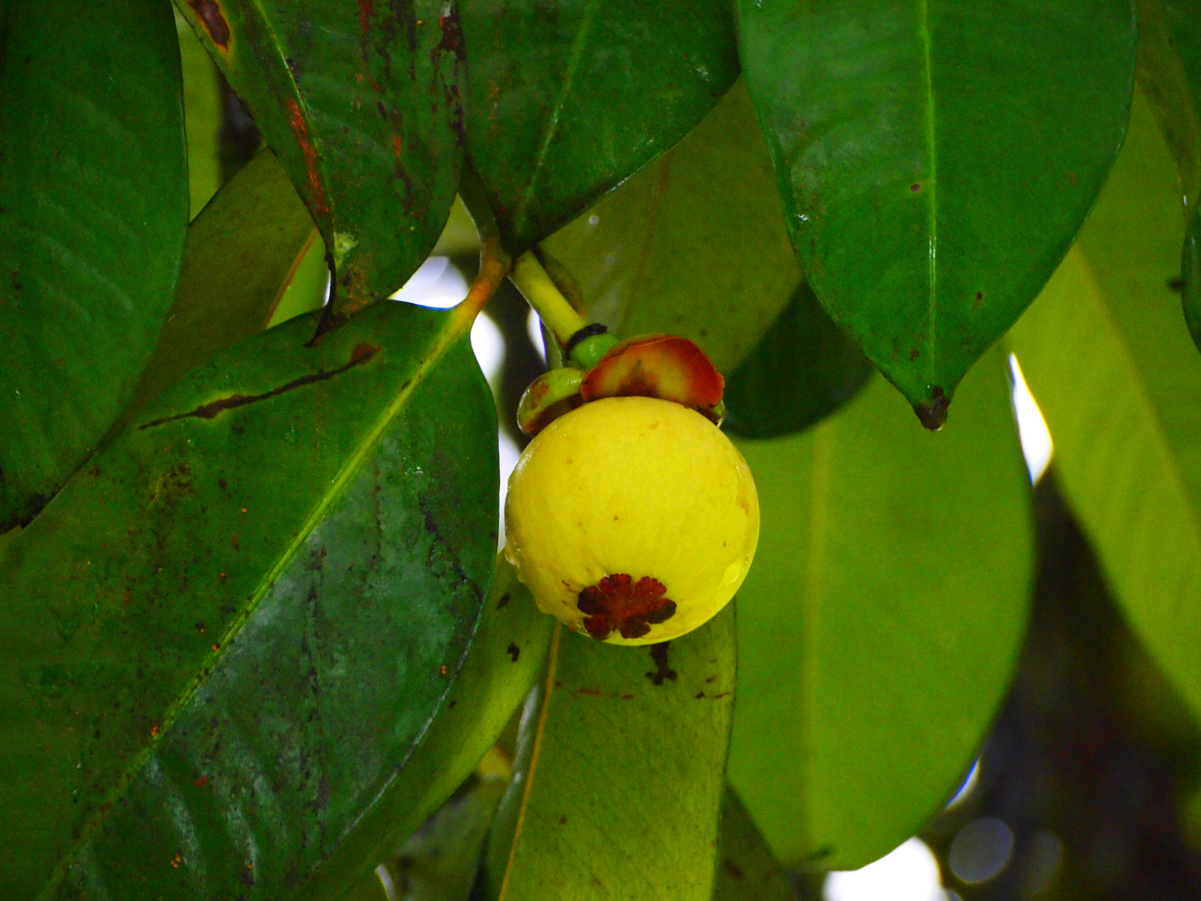 Young Mangosteen Fruit in Malaysia. Photo taken on November 6, 2011.