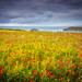 Windswept Poppies