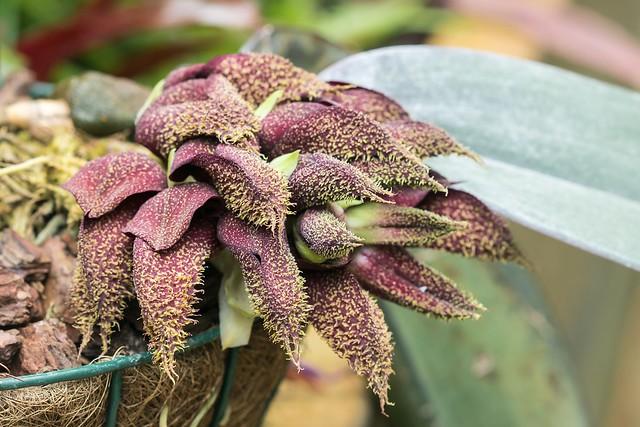 Bulbophyllum phalaenopsis; Orchidaceae (1), Canon EOS 750D, Canon EF 100mm f/2.8 Macro USM