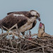 Osprey feeding time by Kevin Fox D500
