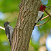 Red-headed Woodpecker by av8s
