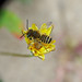 Megachile leachella