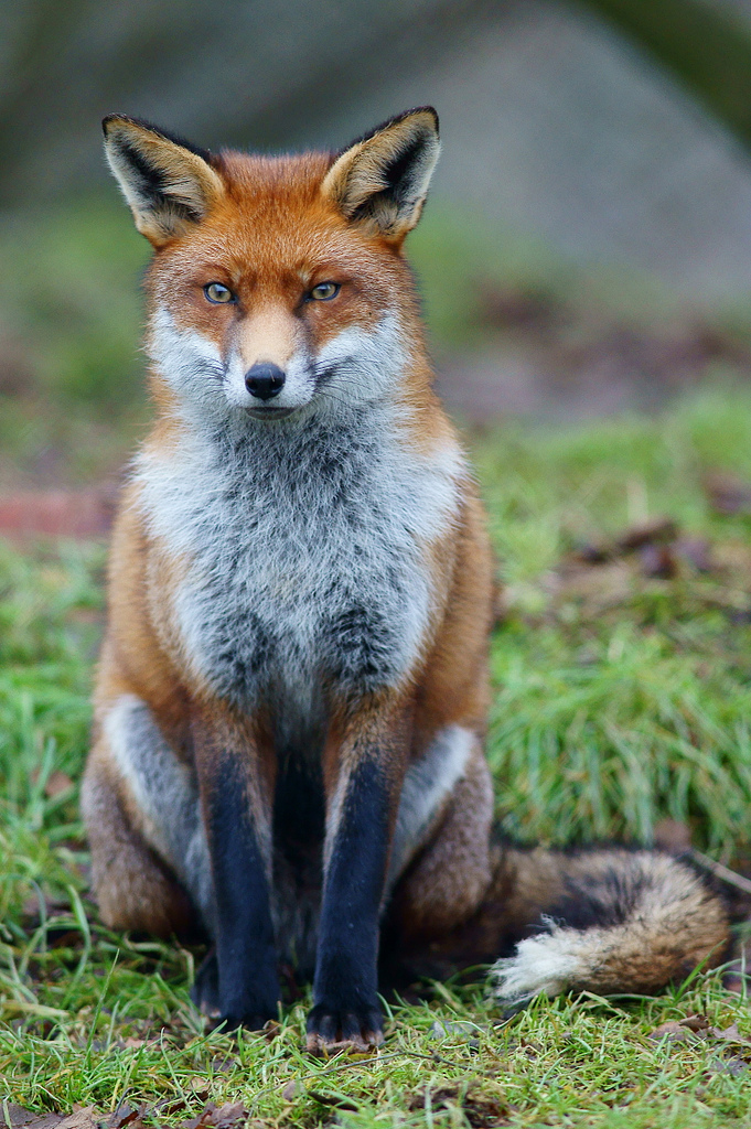 A European red fox (V. vulpes crucigera) in an alert posture. Photo taken on January 3, 2011 at the British Wildlife Centre, Newchapel, Surrey, the fox sits in his enclosure; looking, listening, smelling the air.