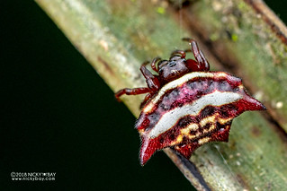 Spiny orb weaver (Gasteracantha sp.) - DSC_2496