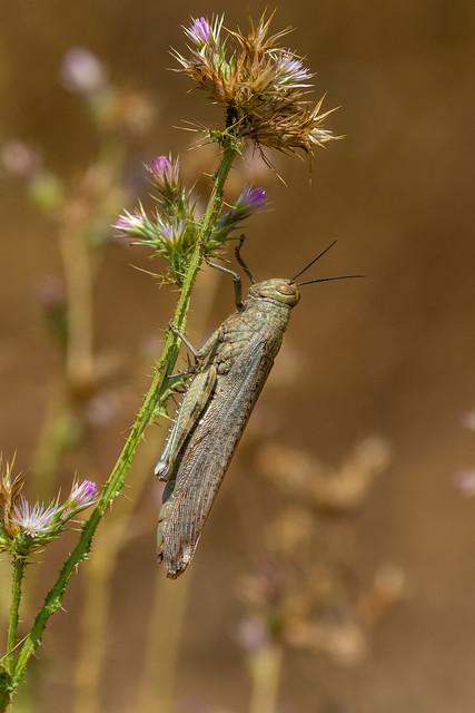 Egyptian Grasshopper - Anacridium aegyptium