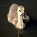 Gosling, Canada Goose at Platts Lodge, Accrington