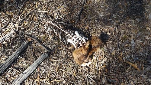2018-06-25_1258.14_Dead_wombat_butt
