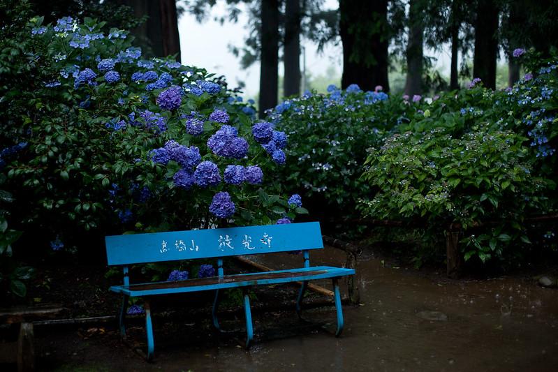 紫陽花 放光寺