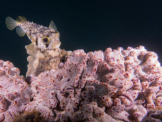 Porcupinefish above the ascidian