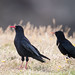Chough with Young