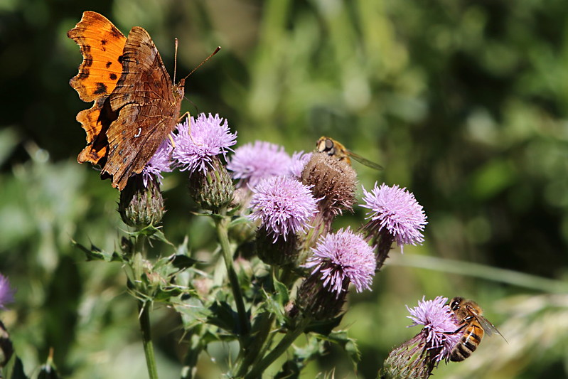 Comma, Bees and Thistle