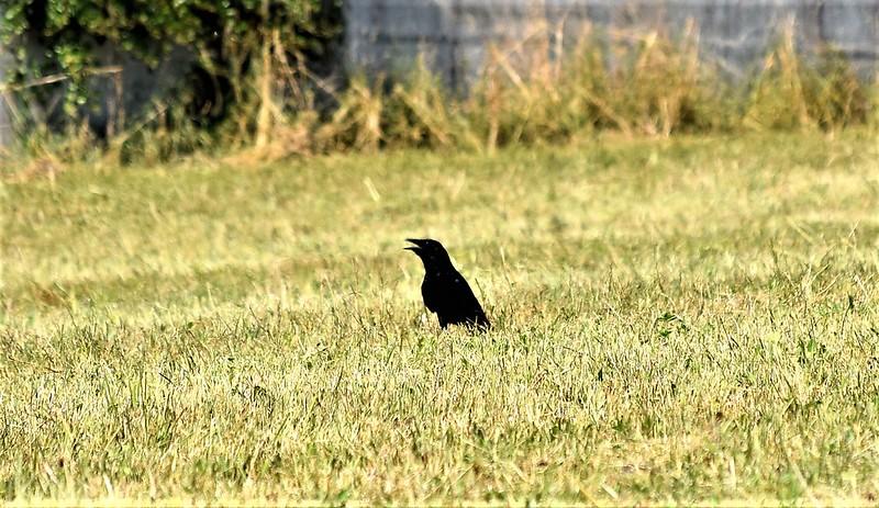 Crow 13.07.2018