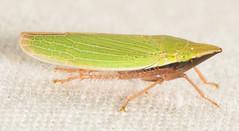 Draeculacephala antica