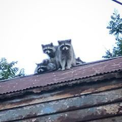 Raccoons, Bronx