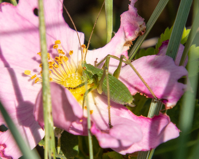 insect on wild rose