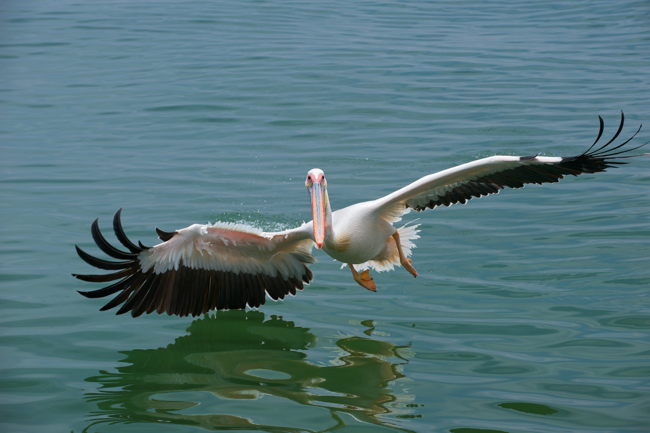 Great Whilte Pelican (Pelecanus onocrotalus) skimming the sea surface, in Namibia. Photo taken by Arturo de Frias Marques on December 17, 2009.