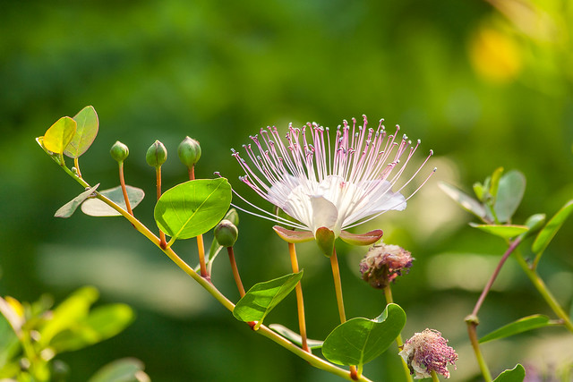 Capparis spinosa (Flinders rose)