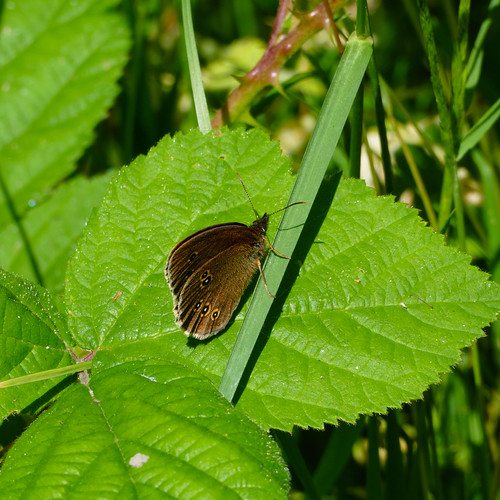 Ringlet butterfly on bramble leaf, Wrens Nest