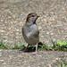 Juvenile Sparrow ....