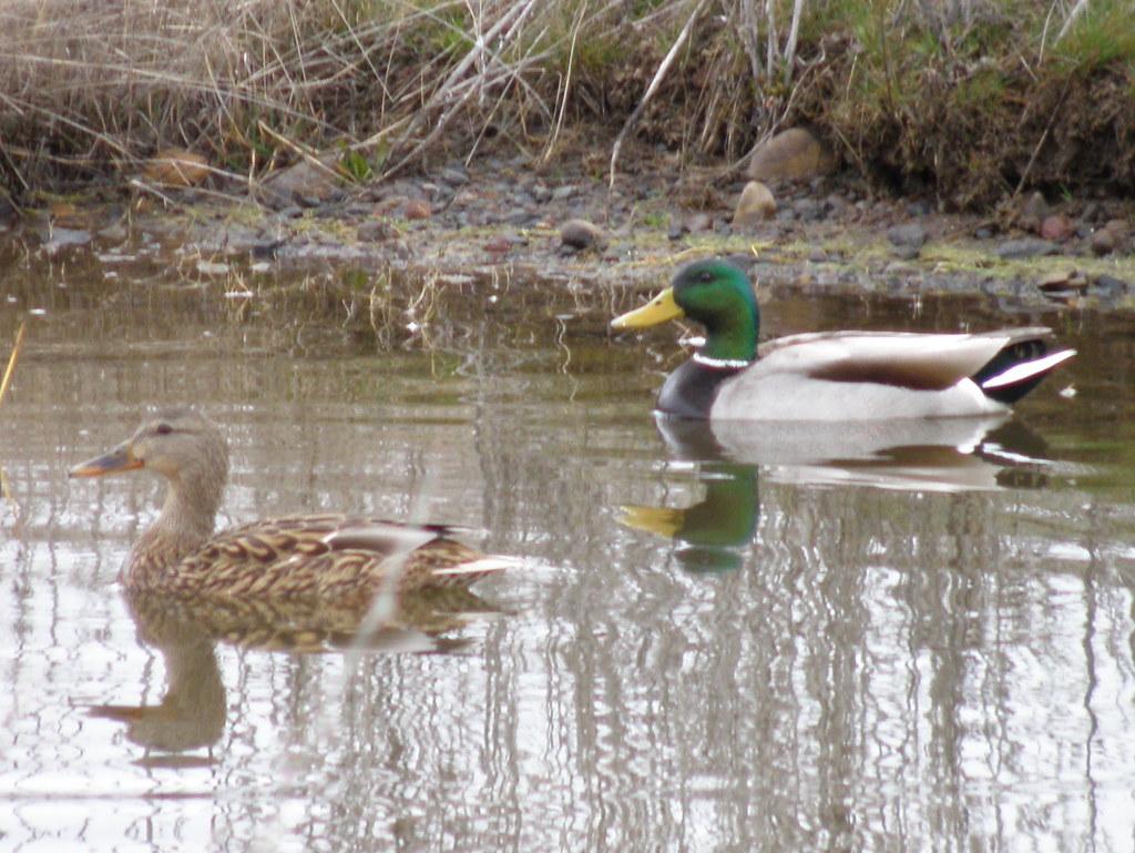 P3151219...Mallard Ducks